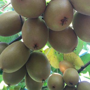 SunGold kiwifruit on the vine