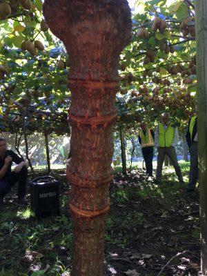 Girdling a kiwifruit trunk